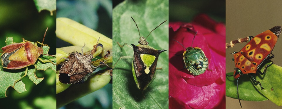 instructions-for-getting-rid-of-stink-bugs